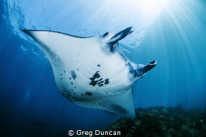 Manta Ray at Manta Point Nusa Penida Bali Indonesia by Greg Duncan